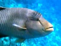 Napoleon, Wargacz garbogłowy, chelin napoleoński - Cheilinus undulatus - Napoleonfish   - ryby Morza Czerwonego