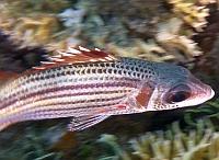 Ryby Hajdukowate, Szorstniki Squirrelfish, Soldierfish - Holocentridae ryby Morza Czerwonego