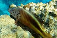 Ryby żagiewkowate,Żagiewki - Cirrhitidae - Hawkfish ryby Morza Czerwonego