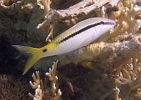 Sułtanka czerwonomorska - Parupeneus forsskali - Red Sea goatfish- ryby Morza Czerwonego