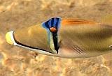 Rogatnica Picasso - Rhinecnthus assasi - Picasso triggerfish  - ryby Morza Czerwonego
