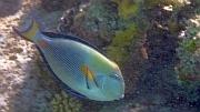 Pokolec arabski - Arabian surgeonfish - ryby Morza Czerwonego