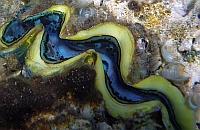 Przydacznia  muszlowiec  - Tridacna maxima - Small giant clam, Mxima clam