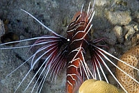 Skrzydlica, ognica promieniopłetwa -  Pterois radiata, 