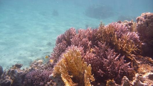 Korale fioletowe