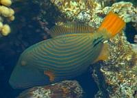 Ryby rogatnicowate Balistidae  - ryby Morza Czerwonego