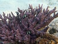 Koral rogi jelenia - fioletowy  Hoeksema's Staghorn Coral