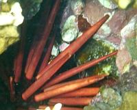 Mureny  z Morza Czerwonego