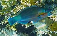 Papugoryba rdzawa - Rusty parrot  Scarus ferrugineus - Papugoryby Scaridae  - ryby Morza Czerwonego