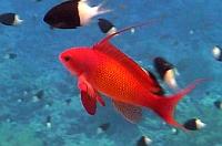 ATLAS RYB Morza Czerwonego