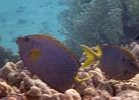 Gwieździsta króloryba - Siganus stellatus - Stellate rabbitfish  - ryby Morza Czerwonego