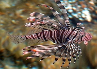 Ognica pstra, skrzydlica ognista, skrzydlica pstra, ryba motyl - Pterois volitans, Red Lionfish - ryby Morza Czerwonego