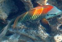 Ryby wargaczowate Labridea  - ryby Morza Czerwonego