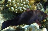 Papugoryba okularnik Ryby Morze Czerwone