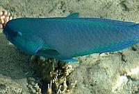Papugoryba garbogłowa Ryby Morze Czerwone