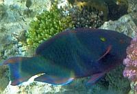 Papugoryba śniada - Scarus niger - Swarthy, Dusky, Black Parrotfish  - ryby Morza Czerwonego