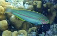 Wargacz karnawałowy  Thalassoma rueppellii - Klunzinger's wrasse, Rueppells wrasse, Julis rueppellii  - ryby Morza Czerwonego