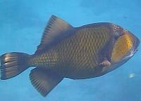 Rogatnica kolczasta Ryby Morze Czerwone