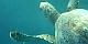 Żółw zielony  - Chelonia mydas żółwie Morza Czerwonego