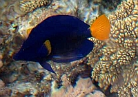 Zebrasoma niebiesko-żółta - Zebrasoma Desjardinii - Sailfin Tang  - ryby Morza Czerwonego