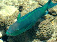 Ryby Atlas Ryb morza czerwonego z MARSA ALAM