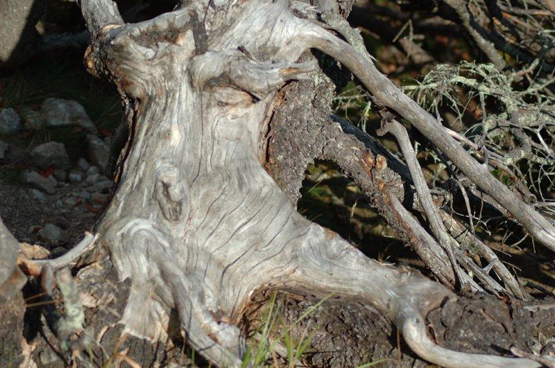 Jego twarz z pnia drzewa wychłosta wiatr zapomnienia